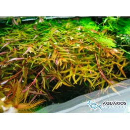 Rotala sp. (Francisco)