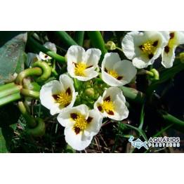 Sagittaria montevidensis (Aguapé-de-flexa)