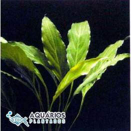 Spathiphyllum wallisii (Lírio-da-paz)