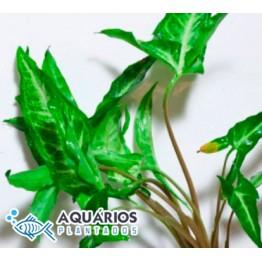 Syngonium podophyllum (Singonio)