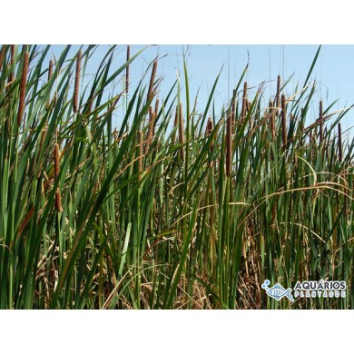 Typha domingensis (Taboa)