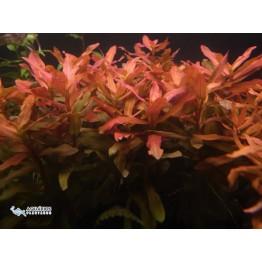 Ammannia senegalensis